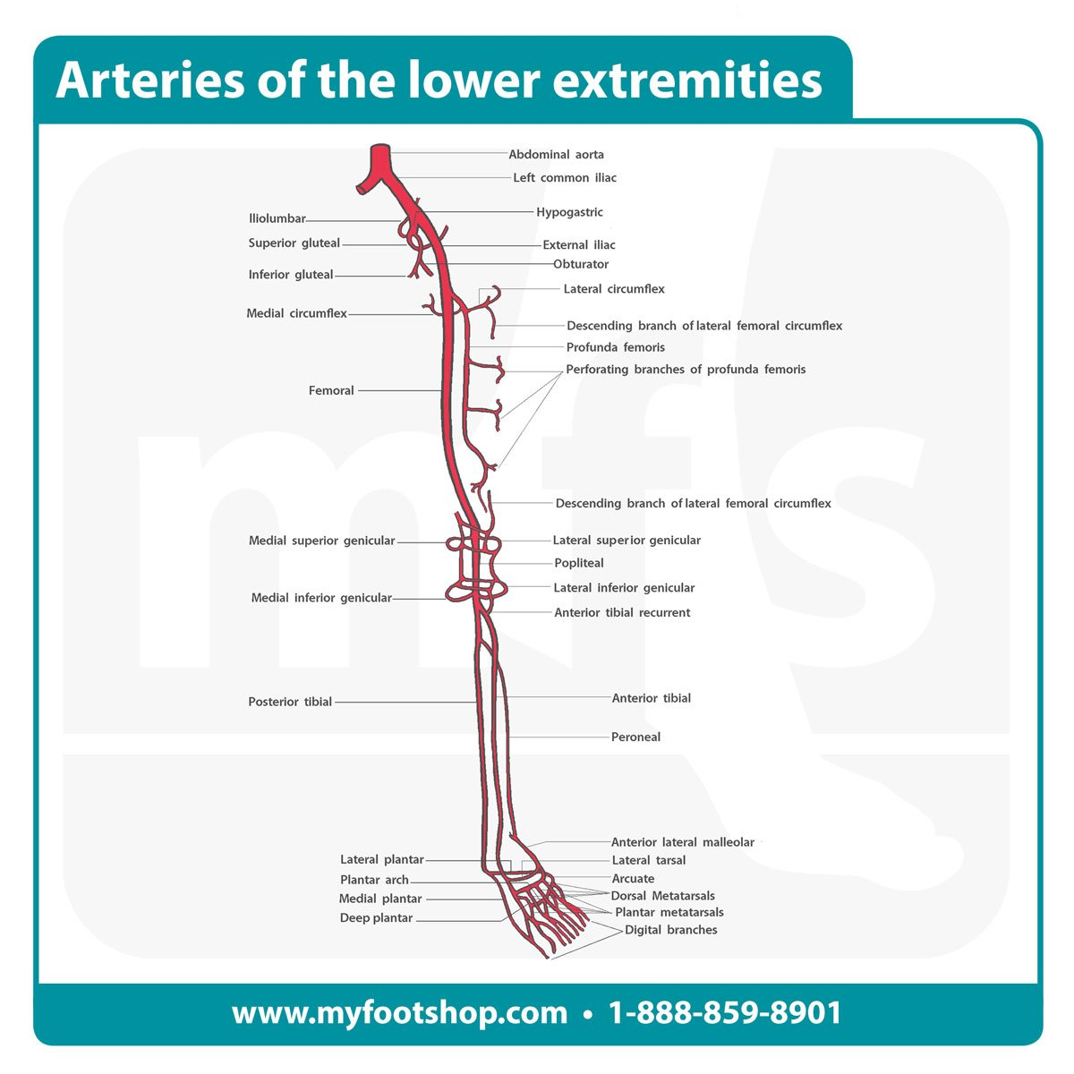 Image of the arteries of the lower extremities