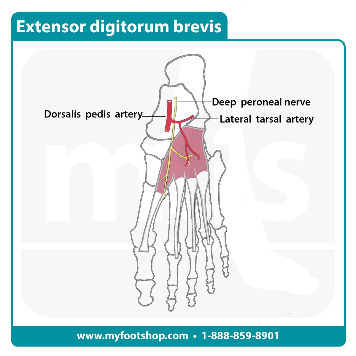 Extensor Digitorum Brevis Muscle | Lower extremity anatomy ...