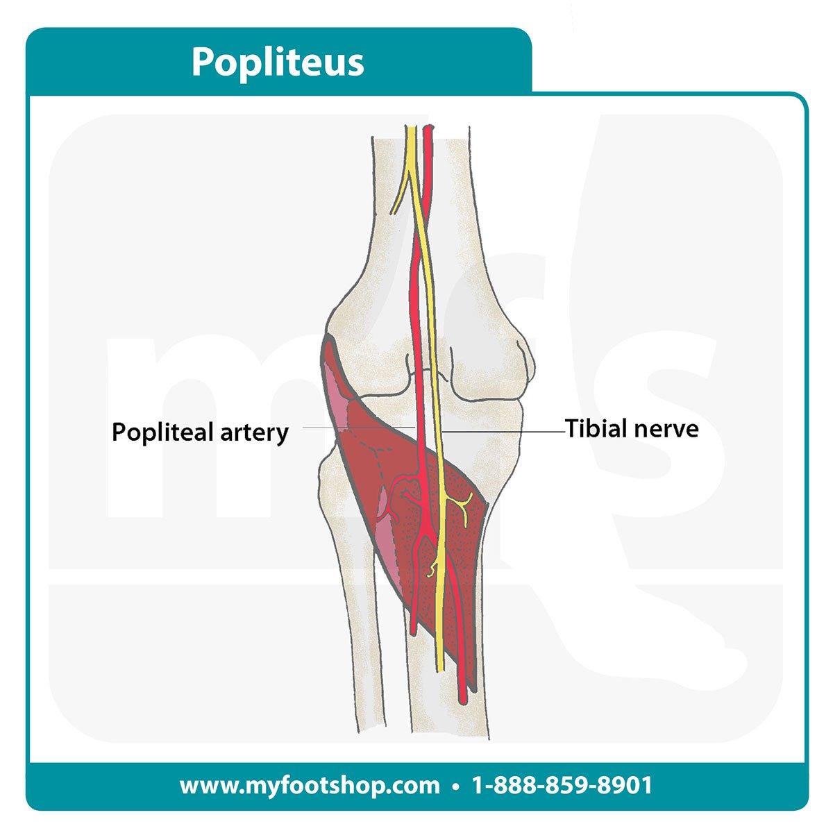 Popliteus muscle