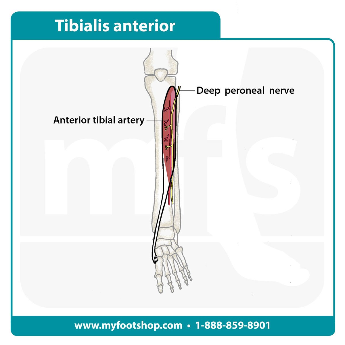 Tibialis Anterior Muscle | Lower extremity anatomy | MyFootShop.com