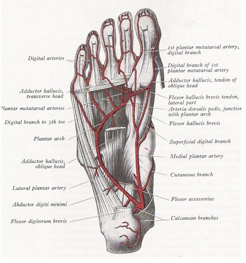 Arteries of the Foot - Plantar View