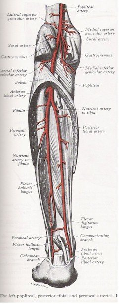 Arteries of the Leg - Posterior View