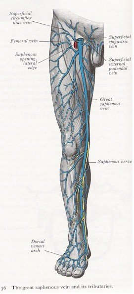 Veins of the Leg - Anterior View