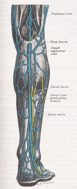 Veins of the Leg - Posterior View
