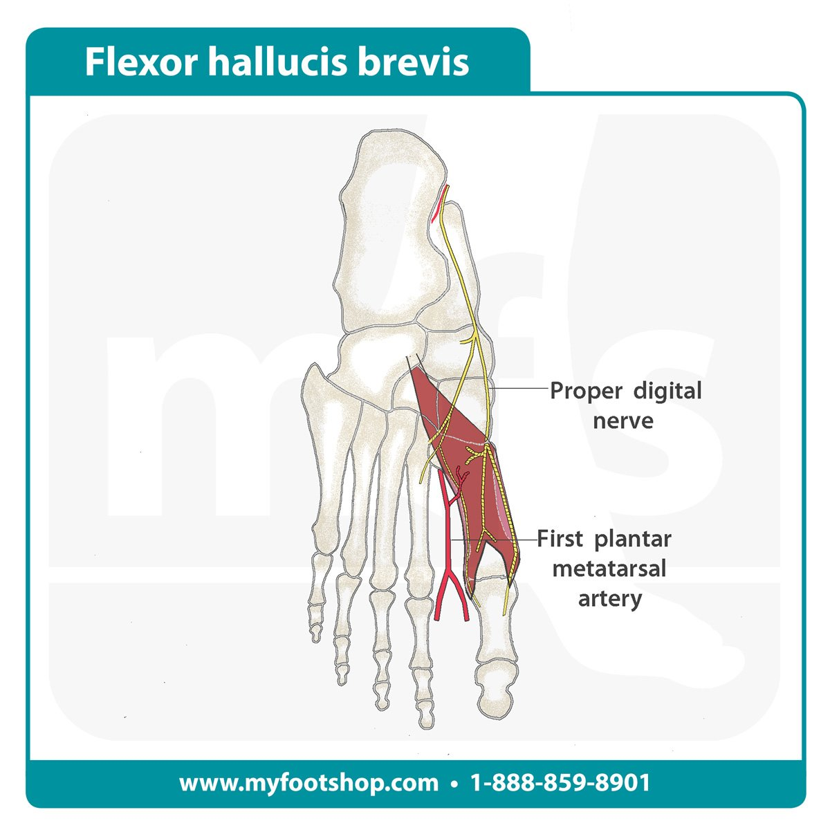 Image of the flexor hallucis brevis muscle