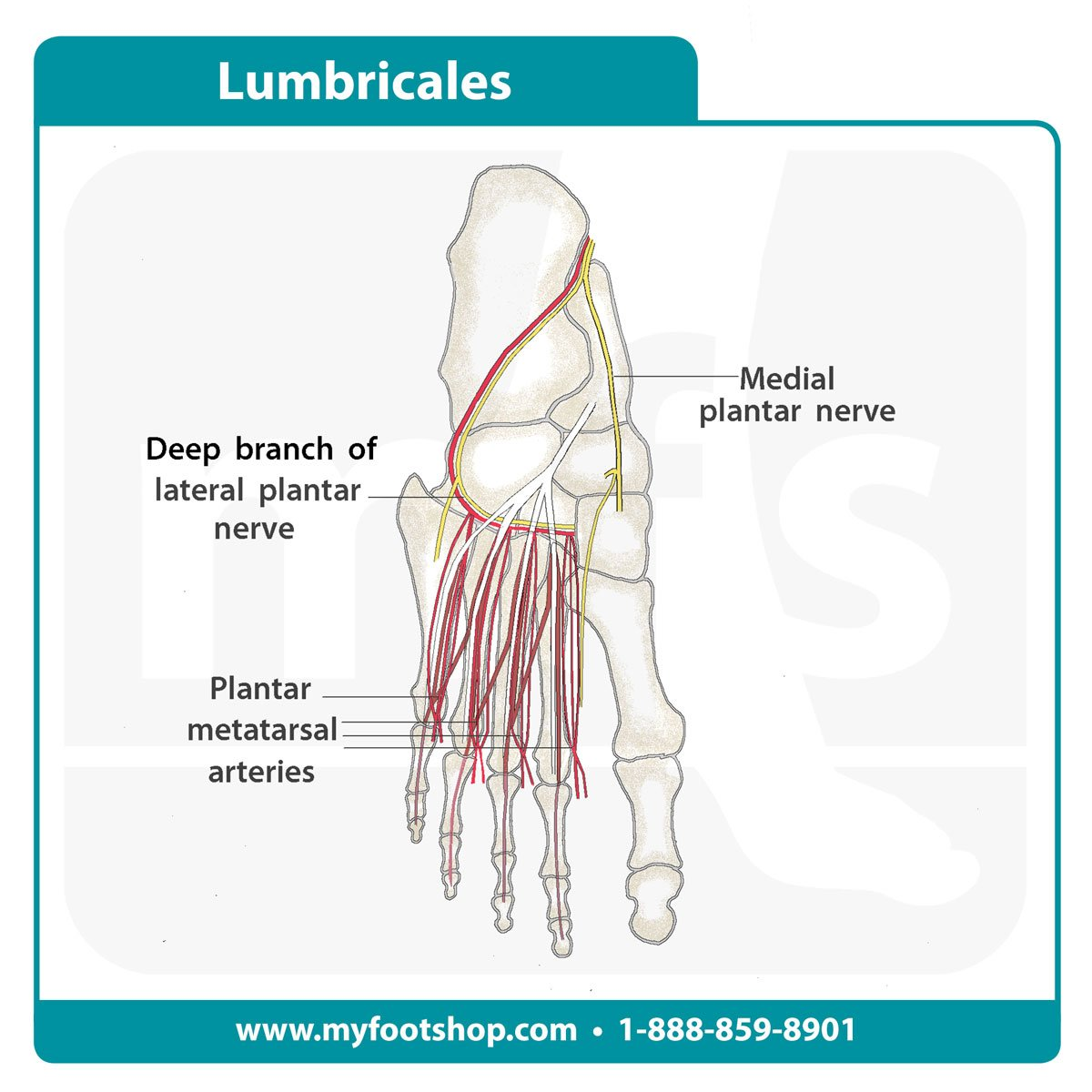 image of the lumbricale muscles of the foot