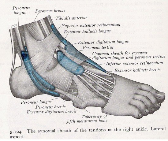 Muscles of the Ankle - Lateral View