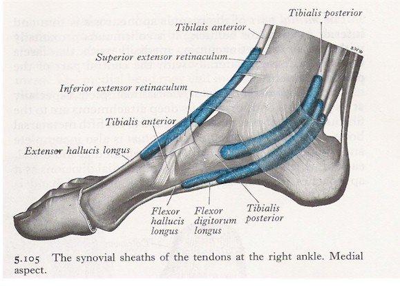 Muscles of the Ankle - Medial View