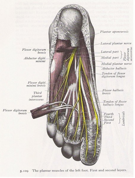 Muscles of the Foot - Plantar View (1st and 2nd layers)