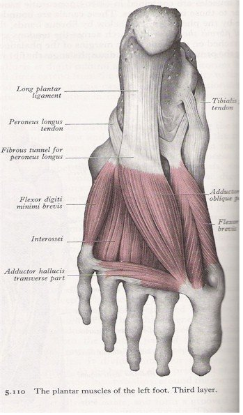 Muscles of the Foot - Plantar View (3rd layer)