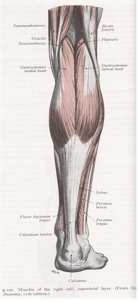 Muscles of the Leg - Posterior View