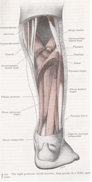 Muscles of the Leg - Posterior View (exploded)