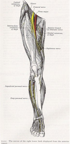 Nerves of the Leg - Anterior View