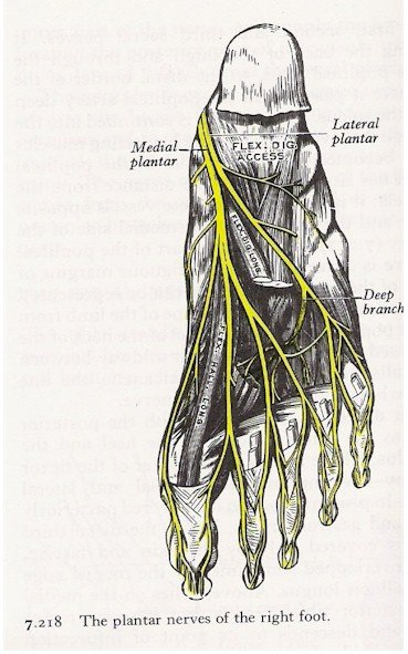 Nerves of the Foot - Plantar View
