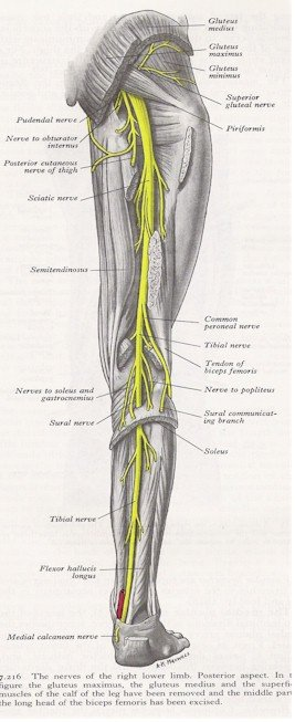 Nerves of the Leg - Posterior View