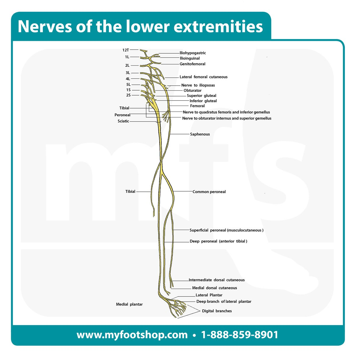 Nerves of the lower extremity