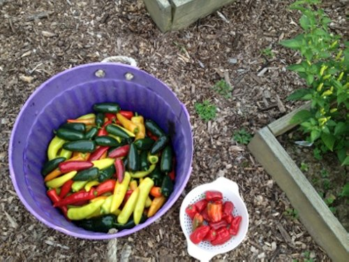 hot pepper harvest