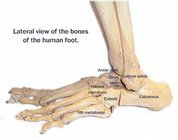 bones_of_the_foot