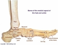 Image Of The Bones Of The Medial Foot Myfootshop Com