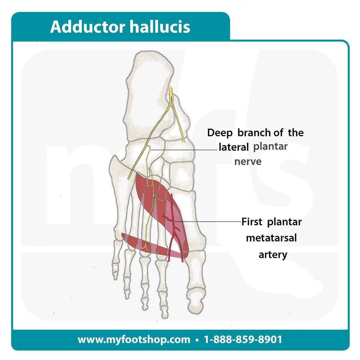 image of the adductor hallucis muscle